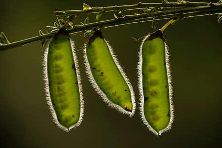 Seedpods of French broom plant, Genista monspessulana Stock Photo