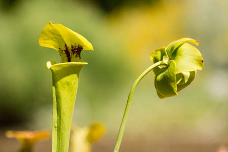 insectivorous plants: Leaf modified in animal trap of sarracenia carnivorous plant with flower Stock Photo