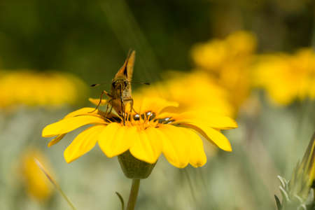 Small skipper butterfly on yellow daisy flower and proboscis out.
