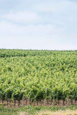 cultivating: Italian Grapefruit vineyard field under Summer sun