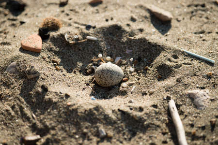 Sand nest with egg of Kentish plover, Charadrius alexandrinus