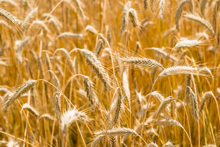 Close up of golden wheat spikes cultivated in North of Italy.