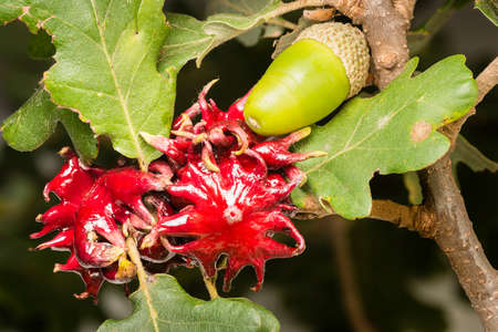 Red galls developed by a wasp larva for protection on oak leaves. Stock Photo