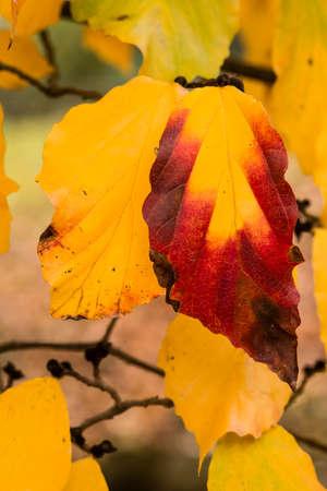 Detail of ironwood tree in Autumn, Parrotia persica.