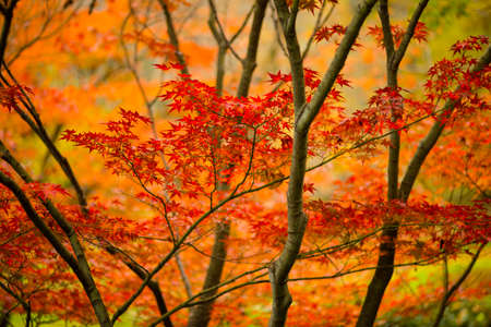 Red and orange maple tree, acer palmatum, with winged seeds.