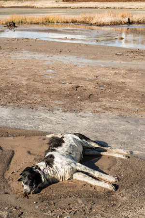 Dead dog due to vulcaninc gas pollution Stock Photo
