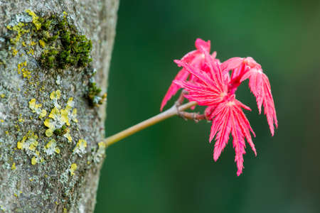 Red leaves of maple Acer palmatum just open in Spring