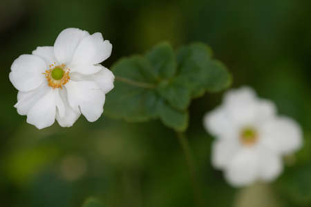 Anemone hupehensis, Chinese or Japanese anemones, thimbleweed, or windflower, flowering herbaceous perennials in the Ranunculaceae family. Stock Photo