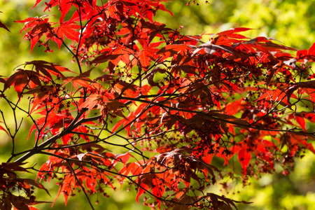 Maple tree, Acer palmatum, with Spring red leaves. Stock Photo