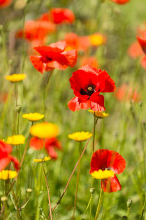 Papaver rhoeas flowers, red, corn, rose, field poppy, flanders poppy,  annual herbaceous species of flowering plant in the family Papaveraceae. Stock Photo