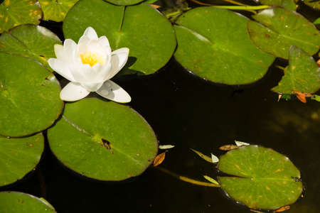 Flowers of waterlily plant on pond in full bloom.