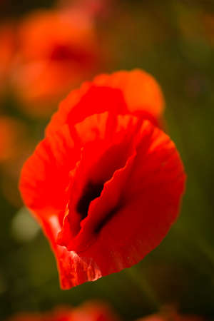 Field of red poppy flowers under the sun in italy.