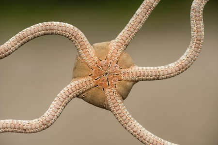 Ventral side of a brittle starfish with mouth hole in the center. 스톡 콘텐츠