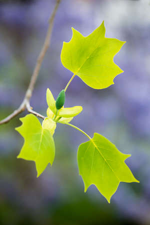 Detail of leaves and flower bud of tulip tree on blue background, Liriodendron tulipifera.