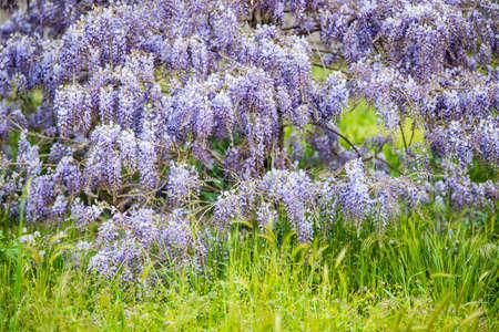 Wisteria sinensis flower bloom in Spring on green grass. Imagens