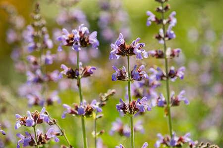 Lavender flower close up in Spring bloom.