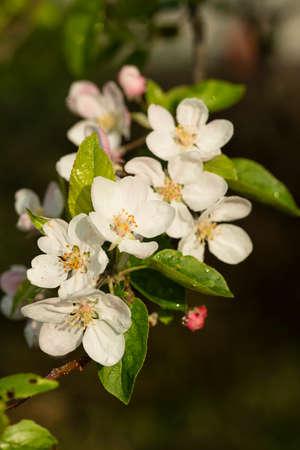 Flowers in Spring bloom of apple tree, Imagens