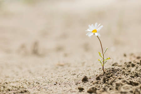 Resilient daisy plant flowering on a sandy desert with no water. Stock Photo