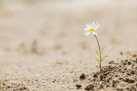 Veerkrachtige madeliefjesplant die bloeit in een zandwoestijn zonder water.