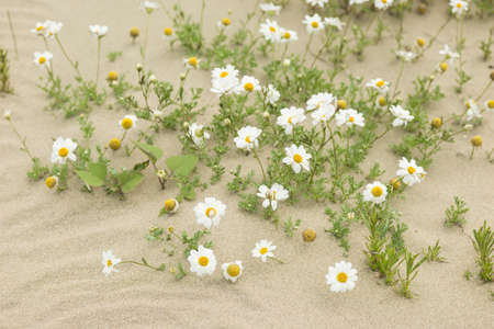 Resilient daisy plants flowering on a sandy desert with no water. Imagens