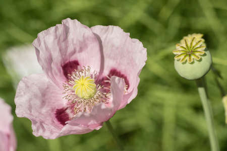 Flowers and seed pods of opium poppy plant, Papaver somniferum.