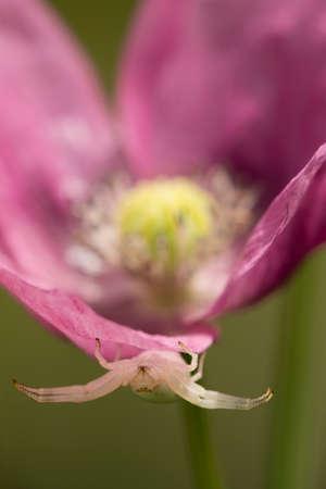 Crab spider on opium poppy flower, Papaver somniferum. Stock Photo