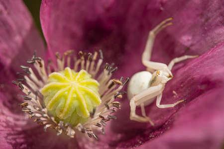 Crab spider on opium poppy flower, Papaver somniferum. Imagens