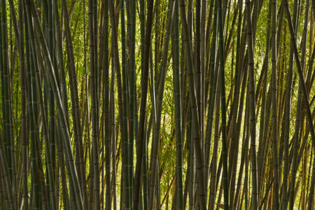 Detail of bamboo forest under the sun.
