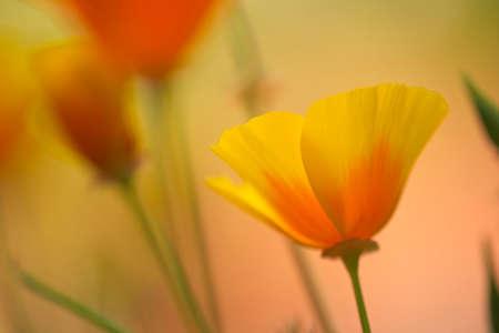 Close up of California golden poppy flowers
