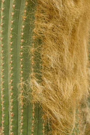 Close up of thorns and beard of cactus succulent plant.