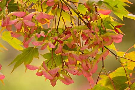 Winged seeds of maple tree, Acer palmatum.