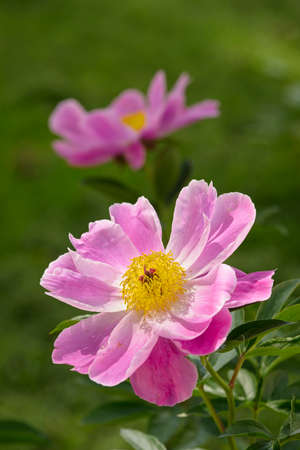 Close up of pink and yellow peony flowers Imagens