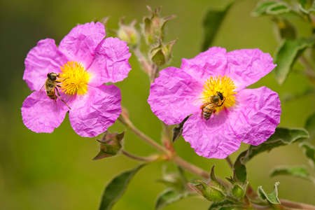 Pink and yellow Paper rock rose flowers with bees. Imagens