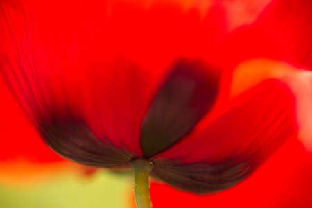Close up of red poppy flower bottom.