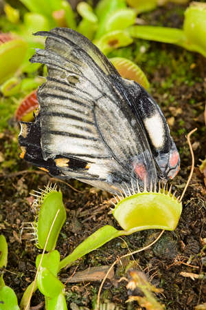 Tropical butterfly captured by a Venus flytrap carnivorous plant, Dionaea muscipula