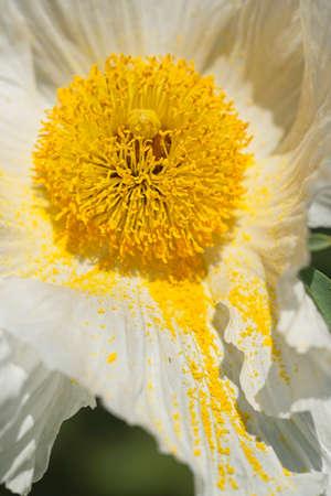 Flowers of California tree poppy, Romneya coultieri.