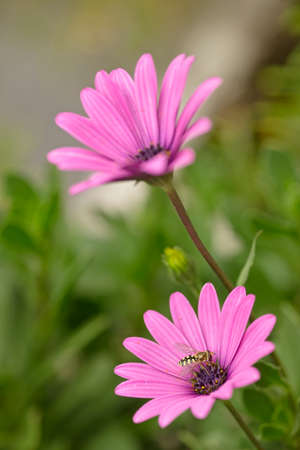 Bee-like syrphid fly on daisy pink flowers of Dimorphotheca. Imagens