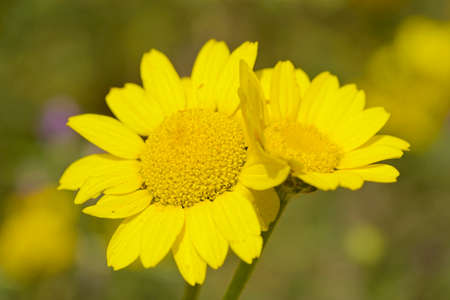 Two adjoining yellow daisy flowers in full bloom under the sun.