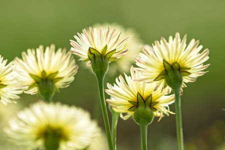 Close up of yellow dandelion flowers from underneath view Imagens