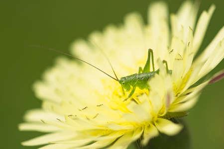 Green grasshopper on yellow dandelion flower Imagens