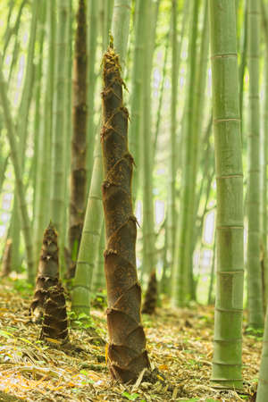 Brown buds of bamboo plants in a forest. Imagens