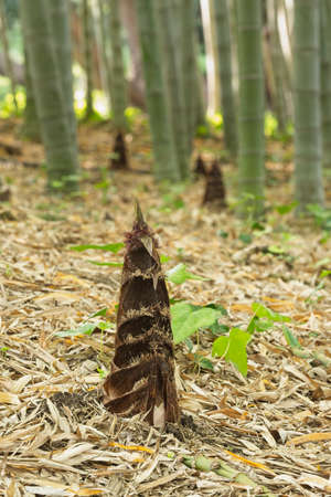 Bamboo plant sprouts from ground. Imagens