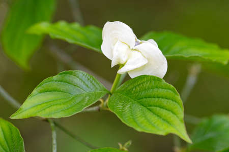 White flower with two green leaves,