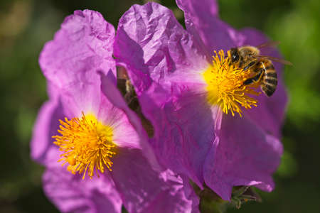 Honey bee on rock rose pink flowers collecting pollen.