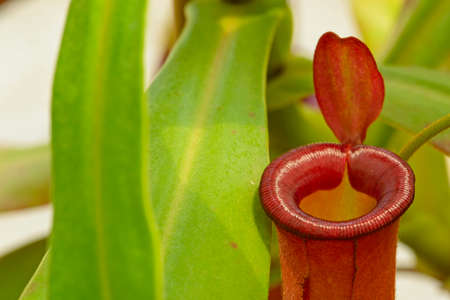 Detail of mouth of the red pitcher trap of Nepenthes Carnivorous plant. Imagens