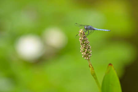 Blue dragonfly resting on a pond plant spike with blurred waterlilies on backgorund.