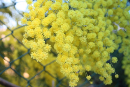 flowery yellow mimosa plant. gift for women's day or mother's day. spring is coming Banque d'images - 120039299