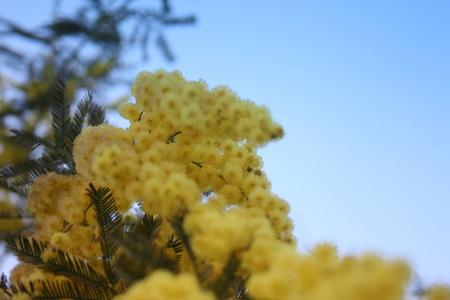 pianta di mimosa gialla fiorita. regalo per la festa della donna o la festa della mamma. la primavera sta arrivando