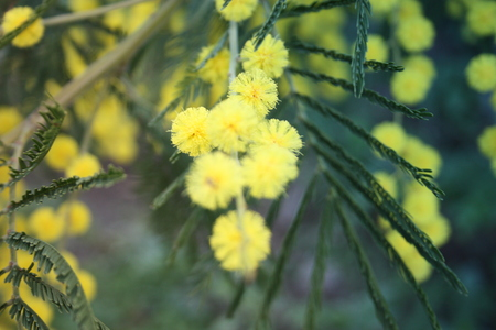 flowery yellow mimosa plant. gift for women's day or mother's day. spring is coming