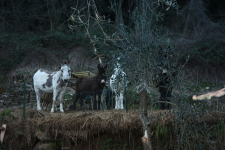a group of young white, gray and brown little donkeys locked up in their enclosure in the woods